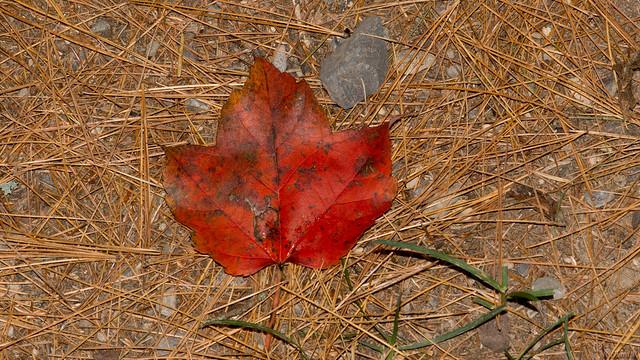 Feuille d'érable, Automne, autumn, P.Q., Canada - 7638