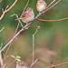 3 Vesper Sparrows-doc shot by ShearH2O