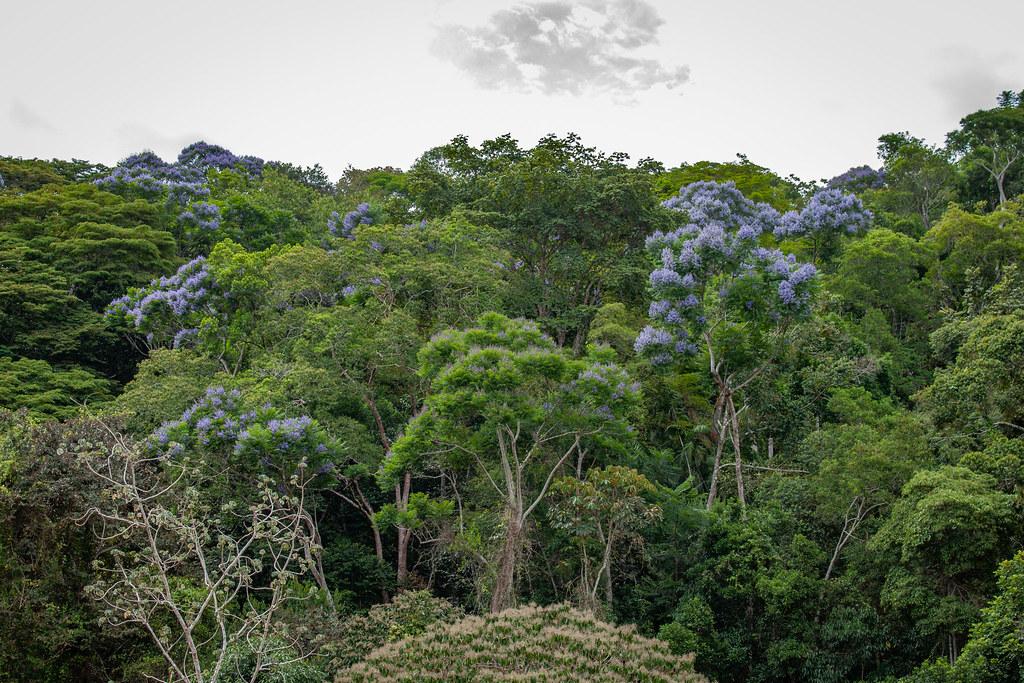 Jacaranda copaia (a jacaranda) - Bignoniaceae - Gamboa, Soberiana NP, Panama-2