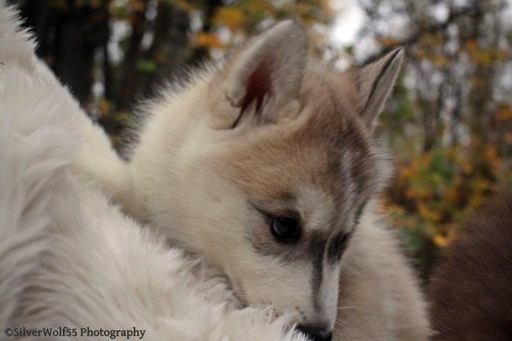 Husky 486
