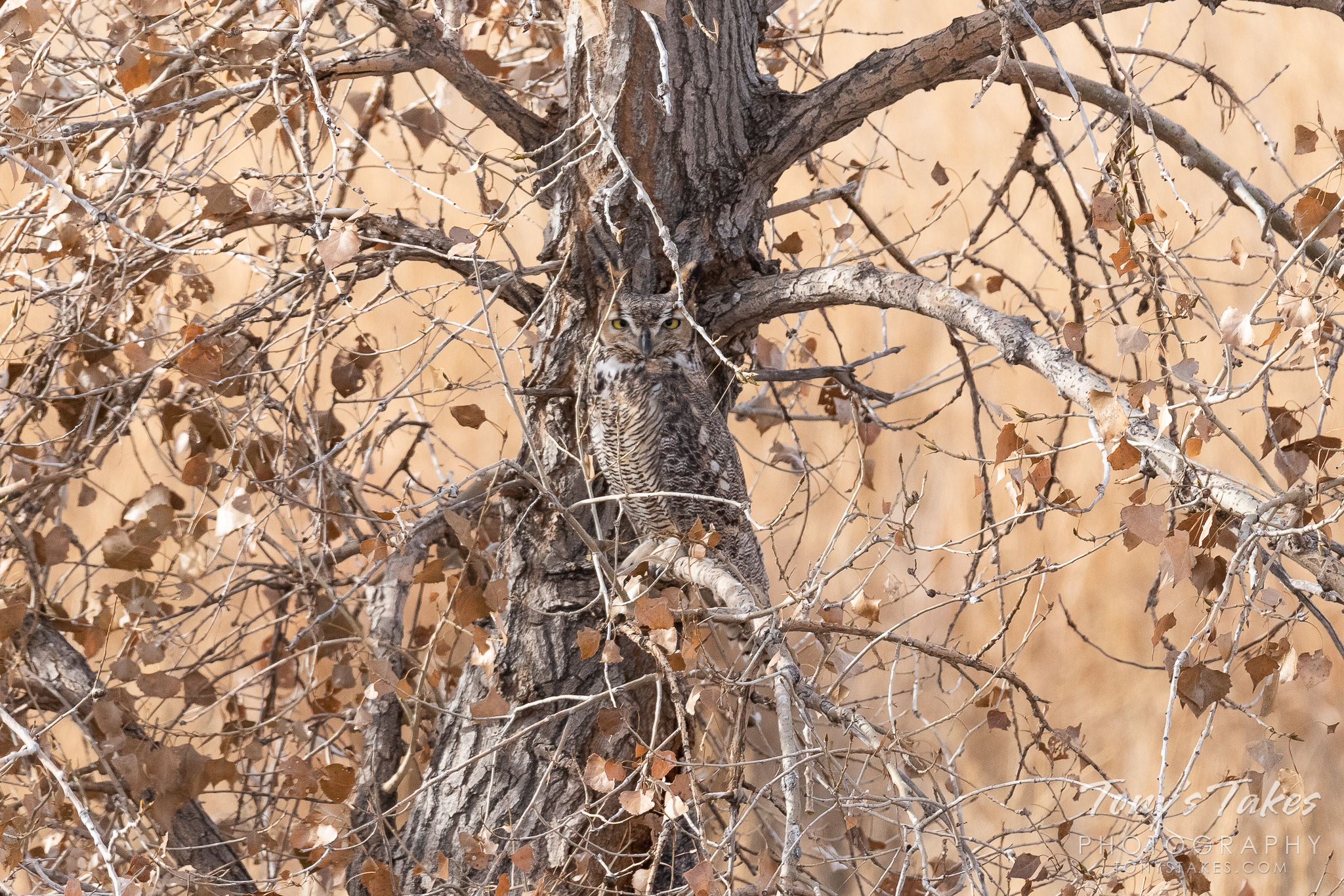 A Great Horned Owl stays well hidden.