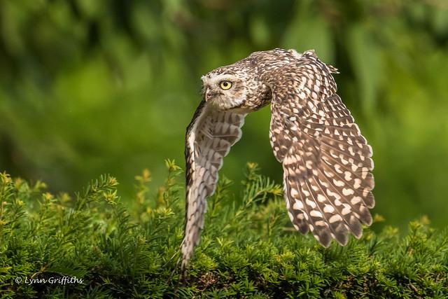 Burrowing Owl 501_2577.jpg