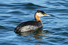 Podiceps grisegena (Red-necked Grebe) - Semiahmoo, WA by Nick Dean1
