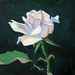 'Tea Rose', Oil on board, 20x20cm