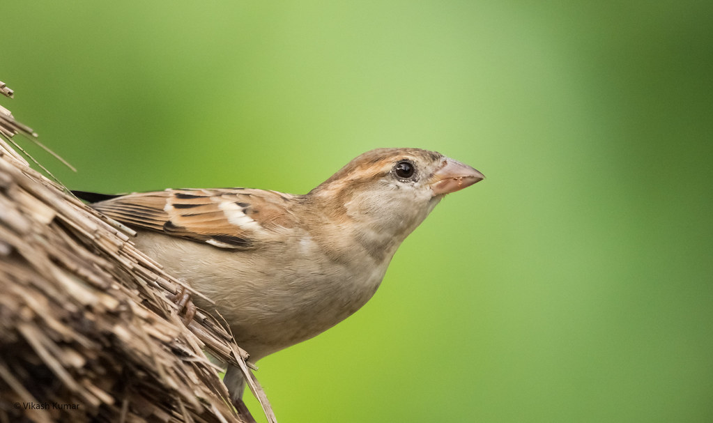 Field Sparrow Female