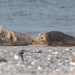 Kegelrobbe [grey seal]