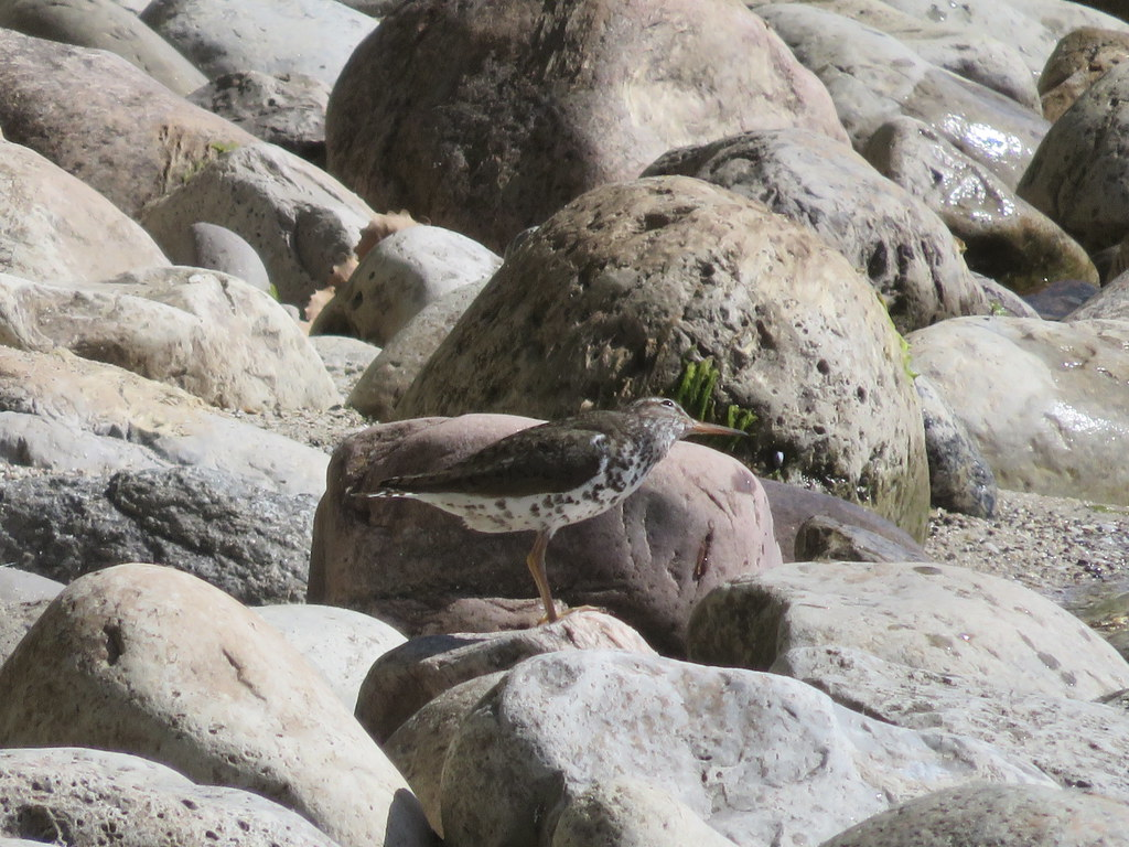 Spotted Sandpiper 2
