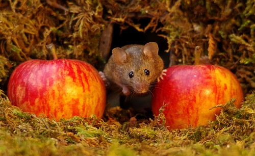 wild house mouse with apples  18 oct  (5)