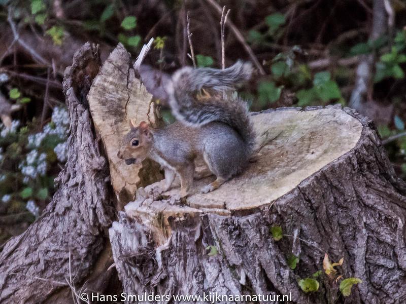 Eastern Gray Squirrel (Sciurus carolinensis)-818_6609