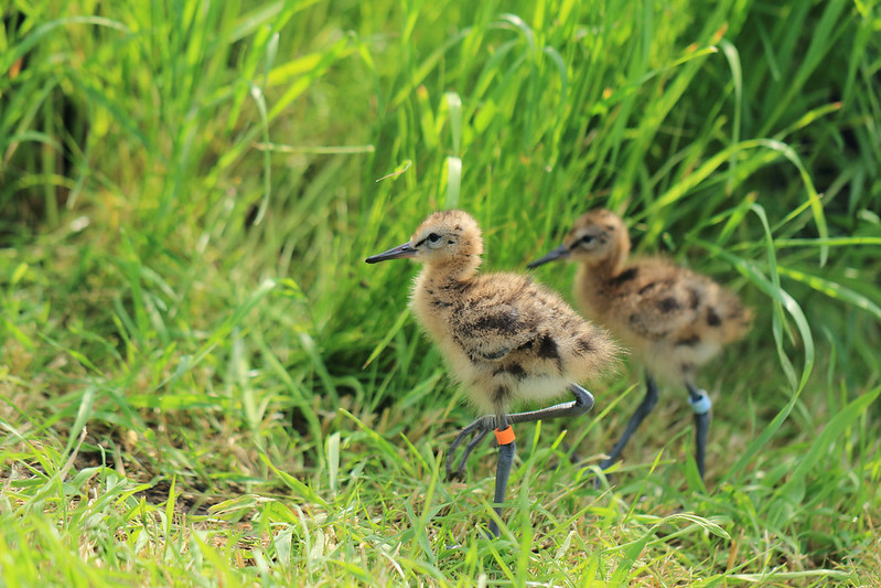 Two black-tailed godwit chicks, 'Mo' and 'Morgan', being headstarted at WWT Welney Wetland Centre (WWT)