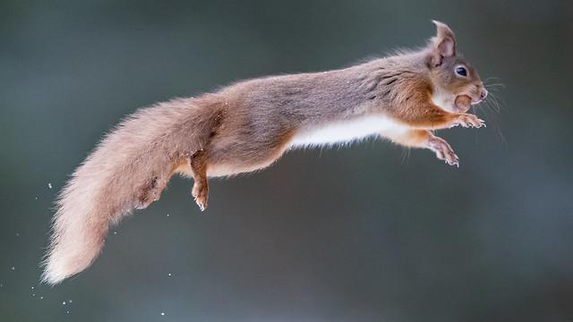 Flying Squirrel...
