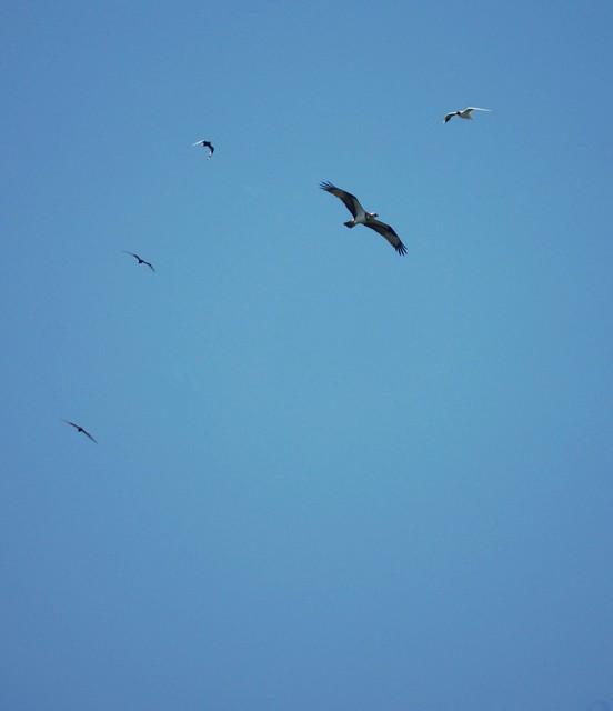 Osprey, Pandion haliaetus, Скопа