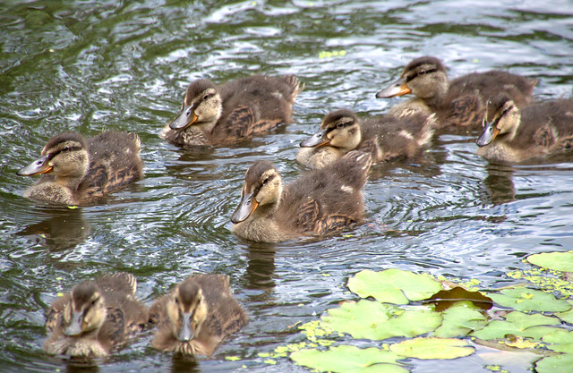 Swarm of baby ducks