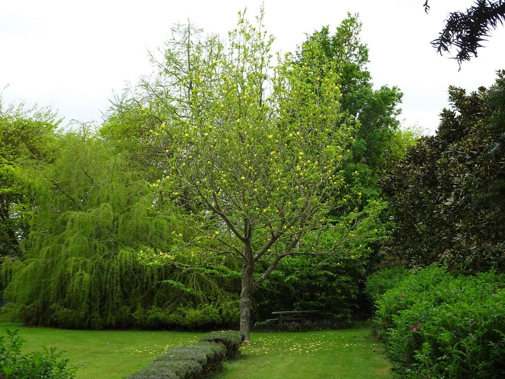 Stratford Beautiful Yellow Magnolia Tree In Merleswood Pr Flickr