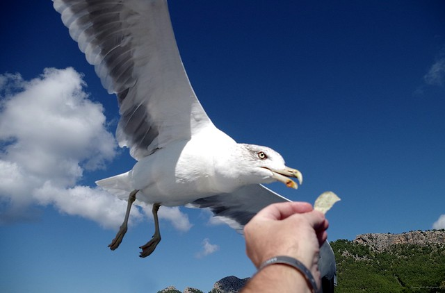 Gull in flight feeding from hand  (3)