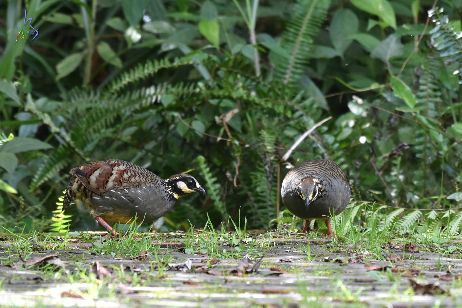 Taiwan_Hill_Partridge_7560
