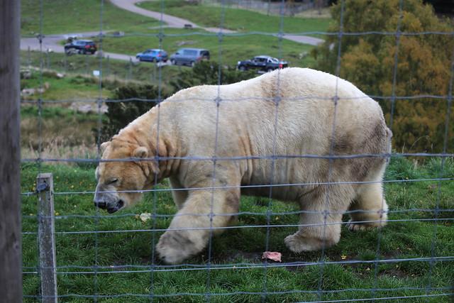 Polar bear at Highland Wildlife Park