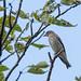エゾビタキ(Grey-streaked Flycatcher)