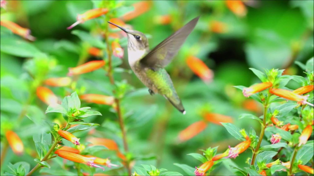 Hummingbird Slow Mo 27 Pt 2 with music