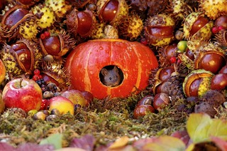 Wild house mouse in side a pumpkin Autumn  display  (7)