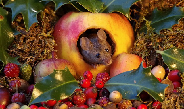 wild mouse in a christmas  apple  (1)
