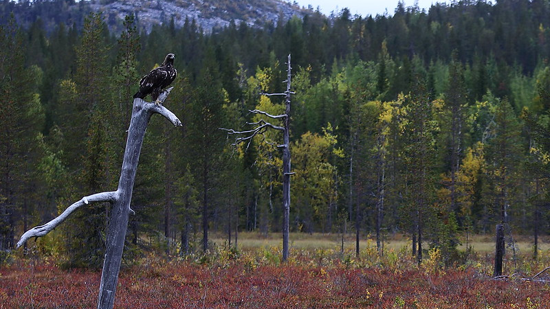Golden Eagle in autumn