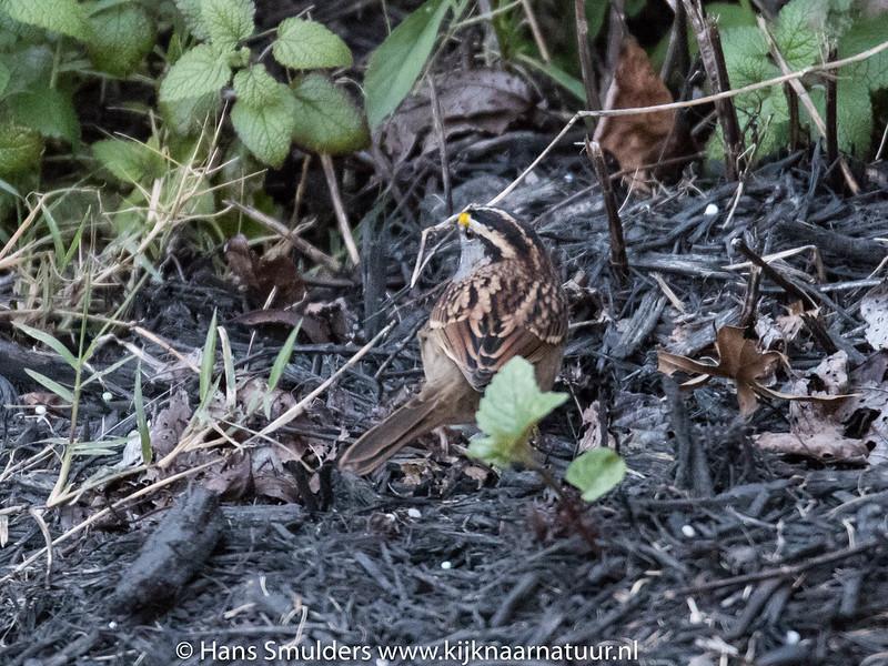 Song sparrow-818_6602
