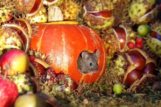 Mouse inside a Autumn pumpkin  (8)