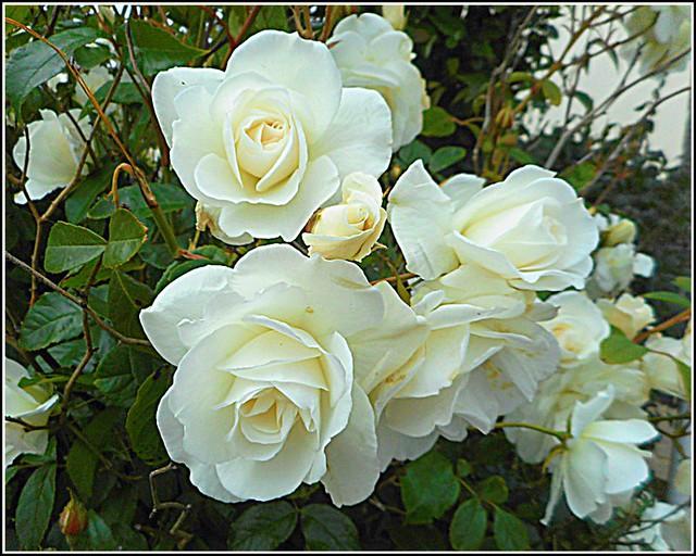White Roses ...