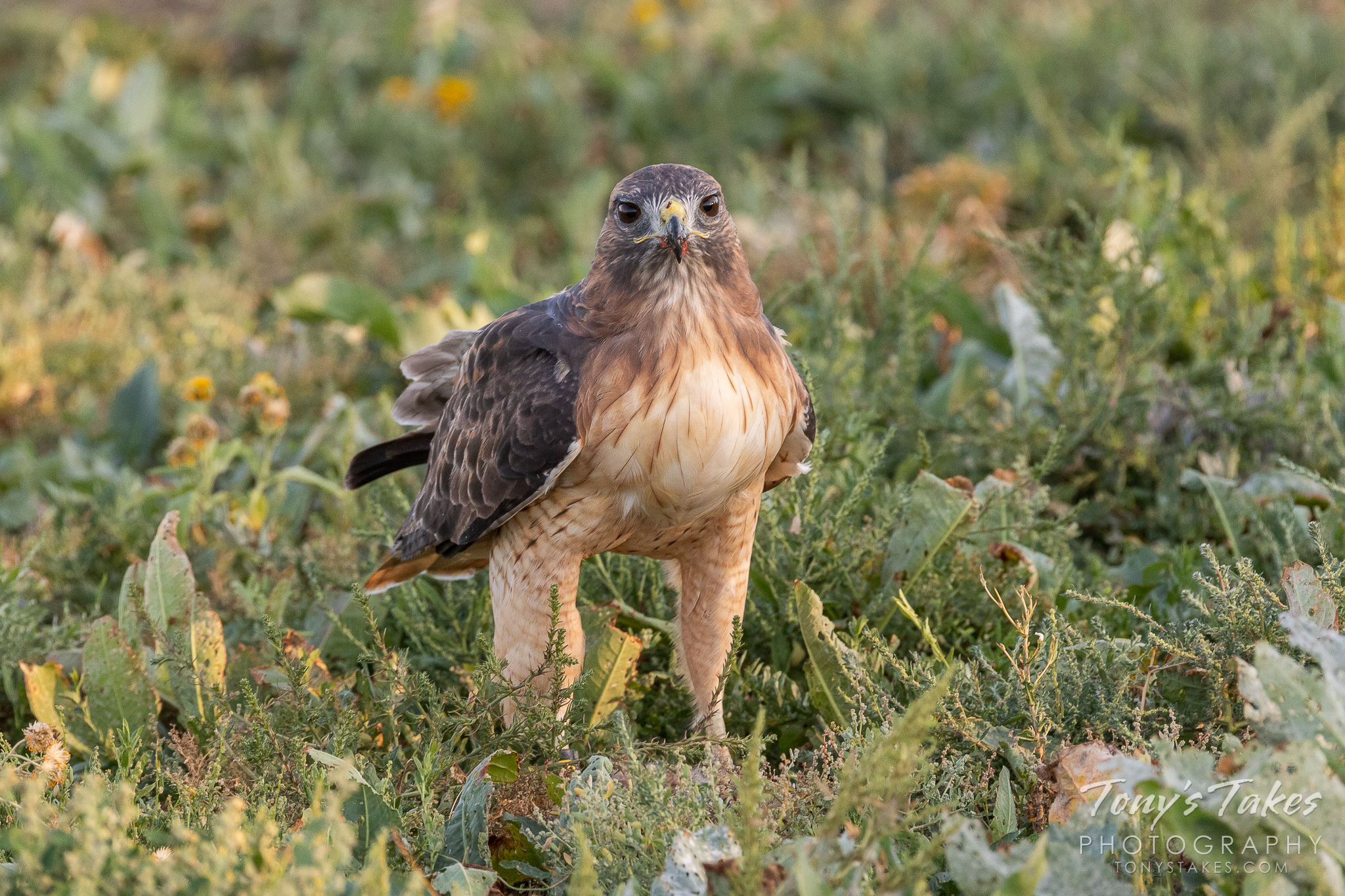 A Red-tailed Hawk guards an evening kill in Thornton, Colorado. (© Tony's Takes)