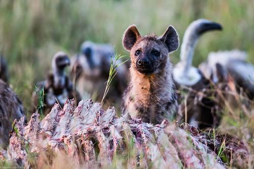 Serengeti_17sep18_06_hiena2 | by Valentin Groza