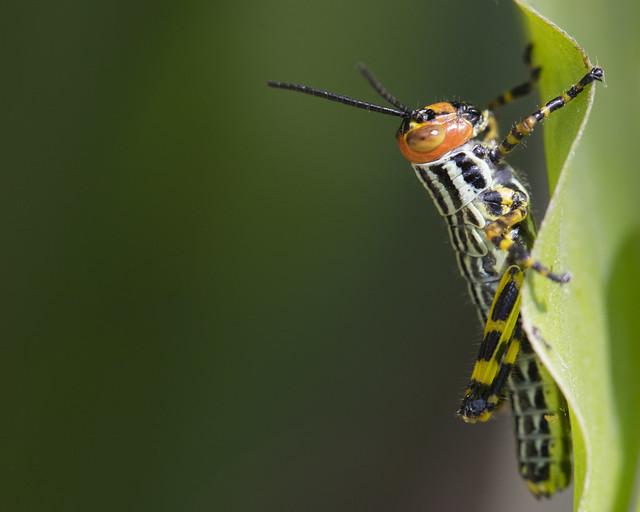 Orthoptera (Zoniopoda tarsata - ninfa)