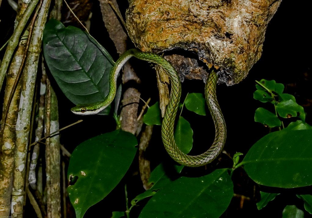 Leptophis ahaetulla ssp. - Giant Parrot Snake / Lora / Azulão-Boia (Linnaeus, 1758)