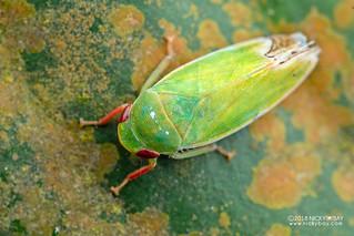 Leafhopper (Krisnini) - DSC_3573