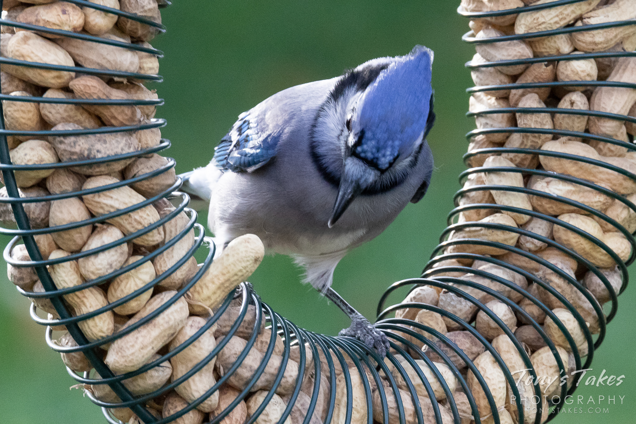 A Blue Jay and its snack. (© Tony's Takes)