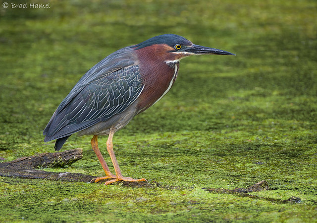 A green heron hunting in a marsh.