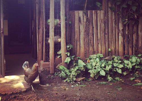 kenya kitale chicken