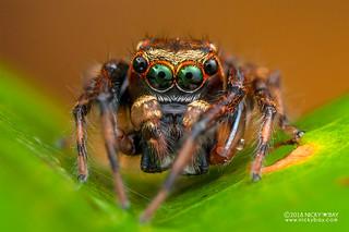 Jumping spider (Idastrandia orientalis) - DSC_4515