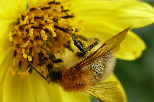 Kopfüber Pollensammler