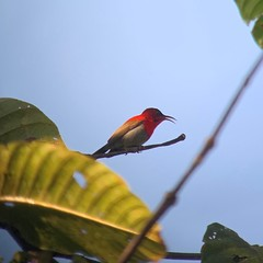 Crimson Sunbird at Kaeng Krachan