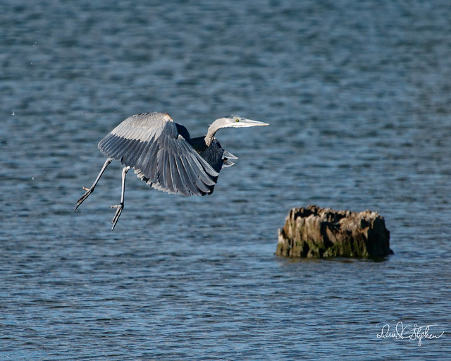 Great Blue Heron After Take-off