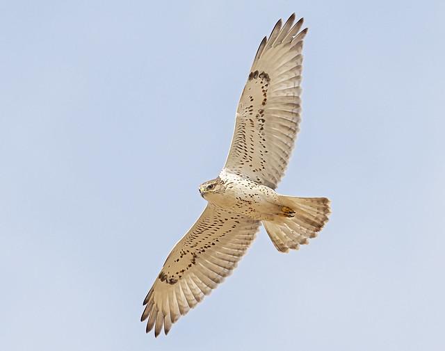immature ferruginous hawk