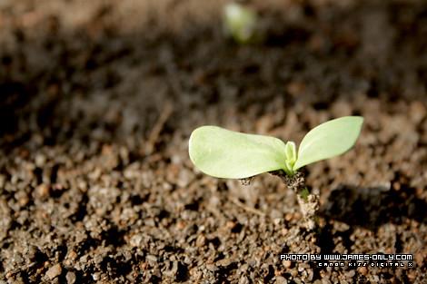 向日葵成長記錄(第 7 天)