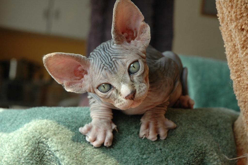 Лысые кошки картинки