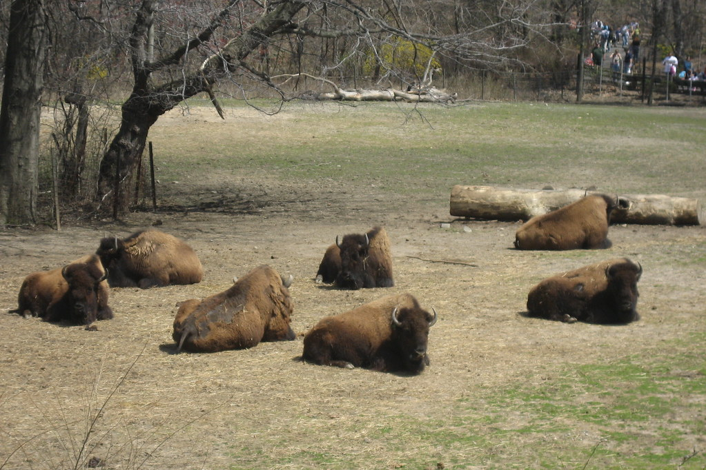 Nyc Bronx Bronx Zoo Bison Range William T Hornaday Flickr