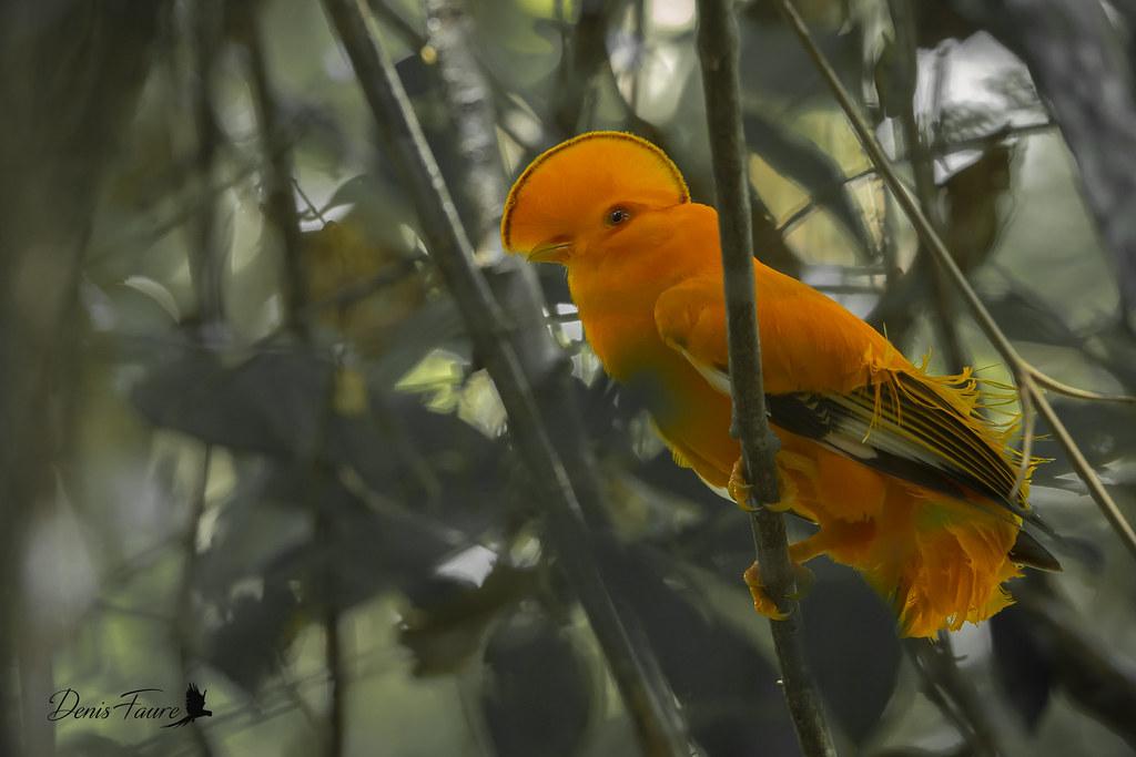 Coq-de-roche orange - Rupicola rupicola - Guianan Cock-of-the-rock