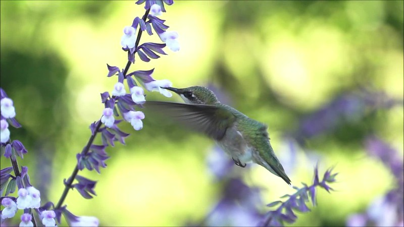 Hummingbird Slow Mo 092918 Clip 21 and 23 with music