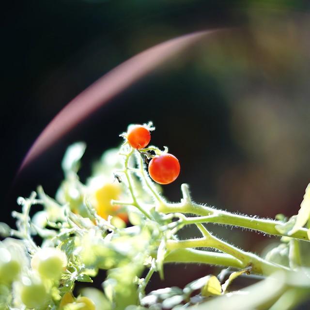 Shiny Tomatoes