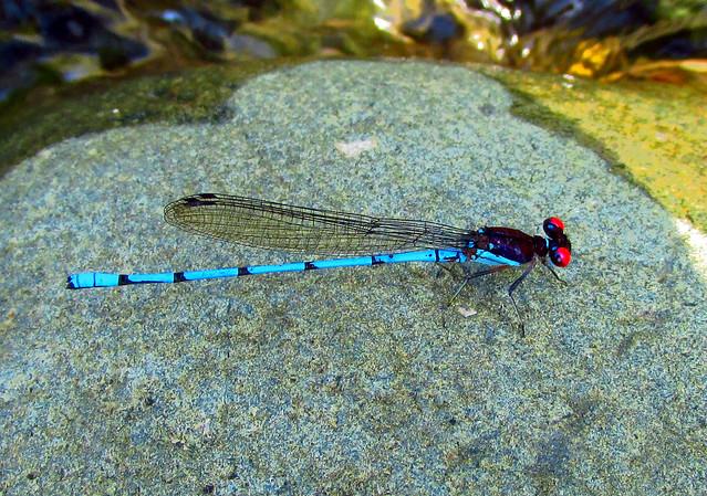 Argia fulgida (Odonata: Coenagrionidae) Blue red-eyed damselfly (Caballito del diablo)
