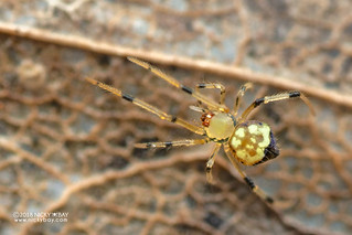 Comb-footed spider (Janula sp.) - DSC_3120